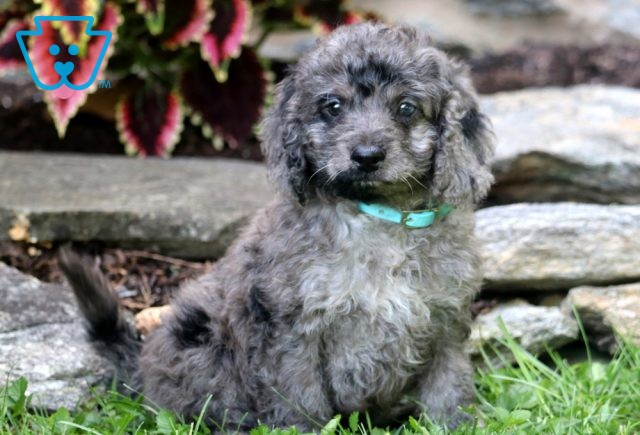 Colby Mini Goldendoodle