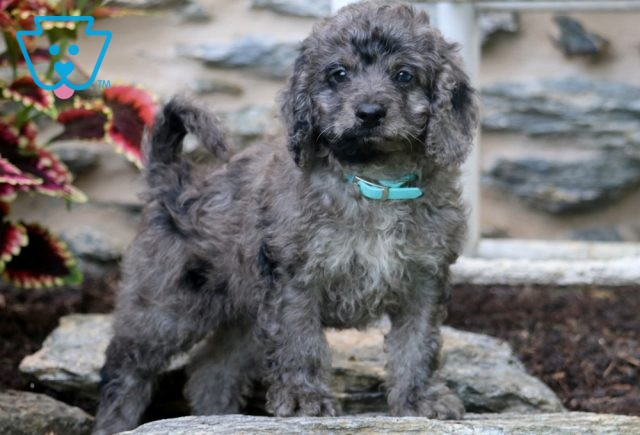 Colby Mini Goldendoodle2