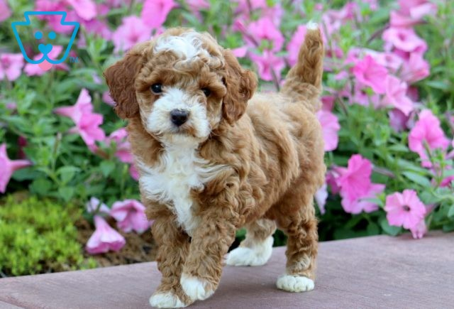 Dice Toy Goldendoodle 1-001