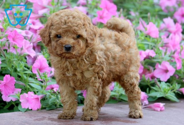 Domino Toy Goldendoodle 1-001