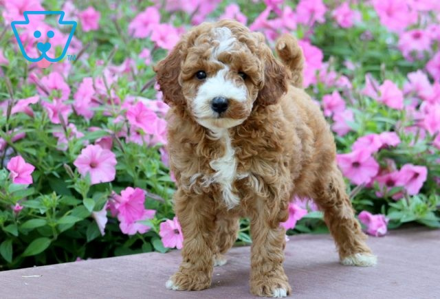 Dougie Toy Goldendoodle 1-001