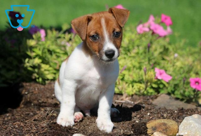 Jules Jack Russell