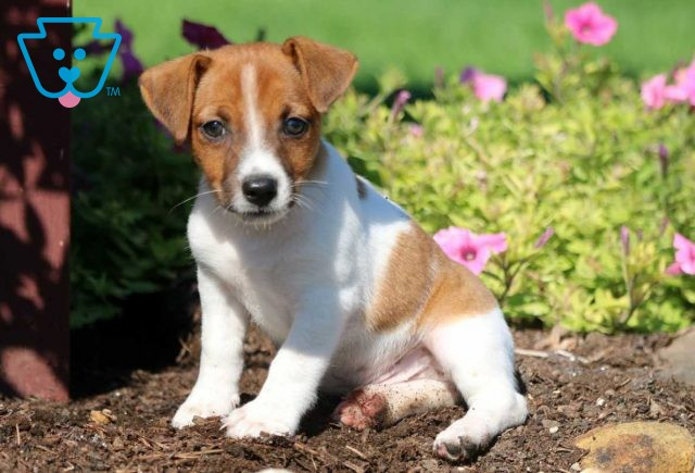 Jules Jack Russell2