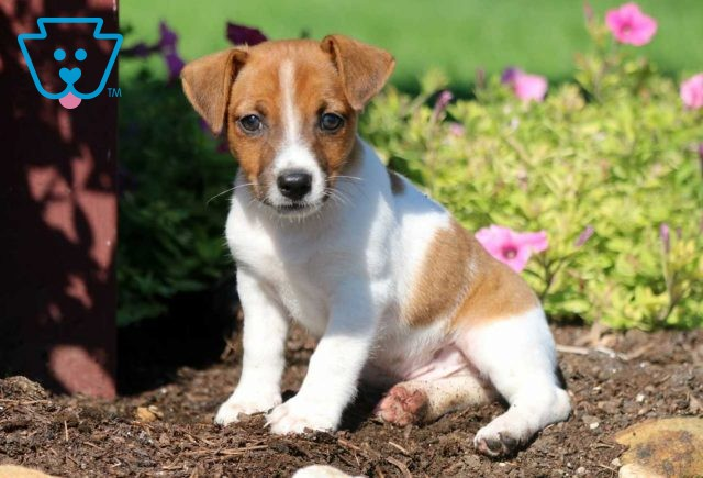 Jules Jack Russell3