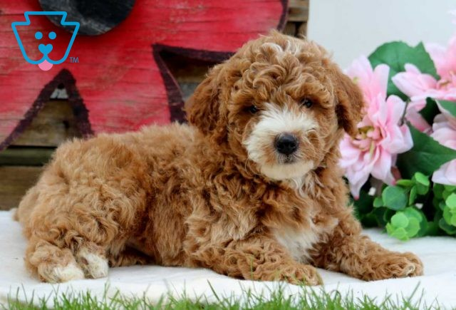 Lucky Mini Goldendoodle