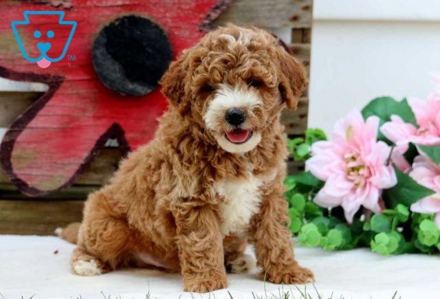 Lucky Mini Goldendoodle2