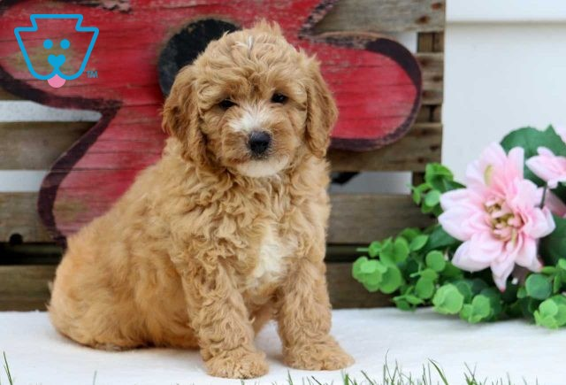 Lucy Mini Goldendoodle