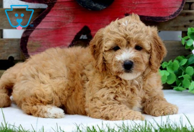 Lucy Mini Goldendoodle3