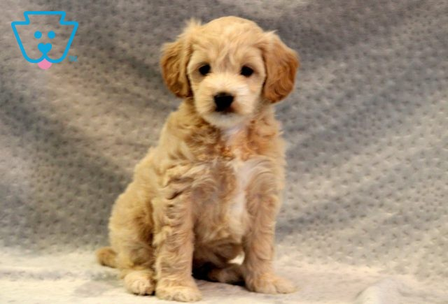 May Mini Goldendoodle 1-001