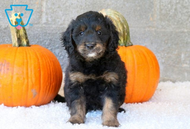 Ommy Mini Goldendoodle 1-001