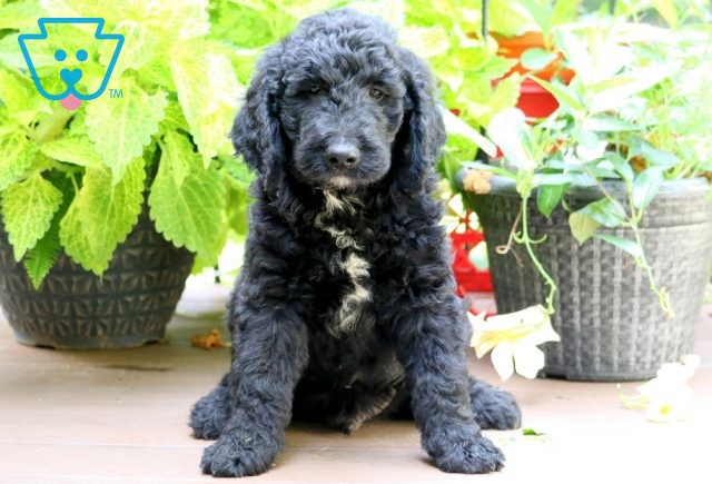 Rocky Goldendoodle 1-001
