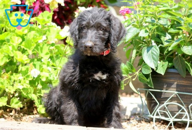 Sally May Poodle Mix 1-001