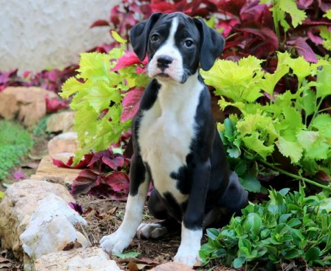 white and black boxer puppy for sale