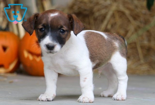 Biscuit Jack Russell 1-001