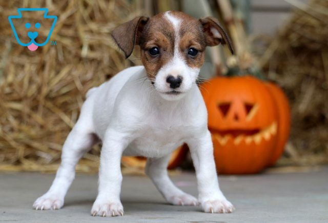Browny Jack Russell 1-001