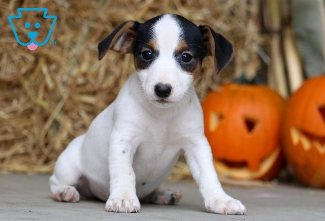 Jager Jack Russell 1-001