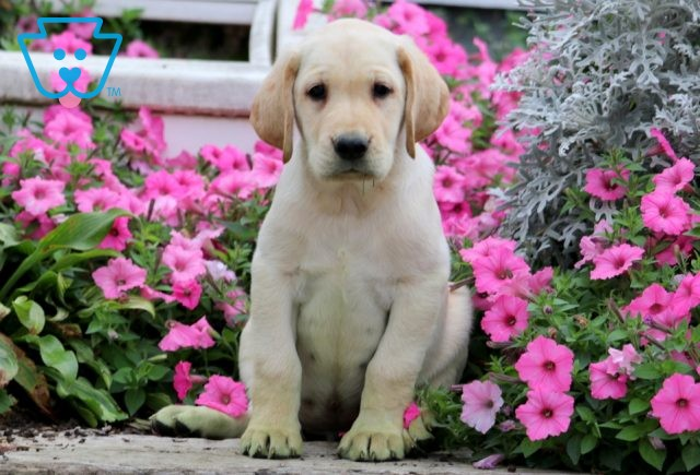 Trouble Yellow Lab 1-001