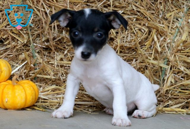 Zoey Jack Russell 1-001